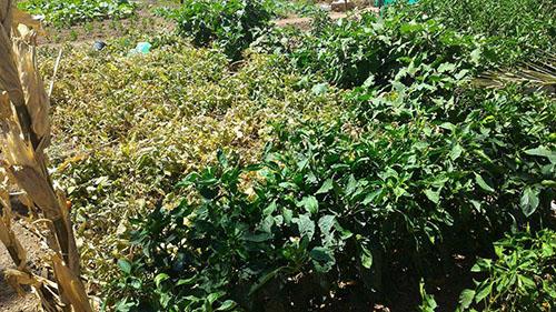 palmeraie-tomates-medine