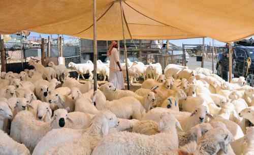 Le sacrifice du mouton (Hady) au Hajj : les différentes options